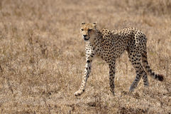 Cheetah Walking Stock Images