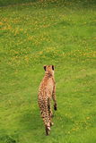 Cheetah walking in green grass. Stock Photo