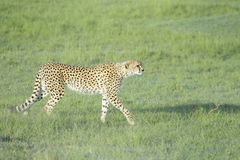 Cheetah walking in high grass on savannah Stock Photo
