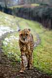 A cheetah is walking on his track Royalty Free Stock Photos