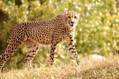 Cheetah walking in nature Stock Photography