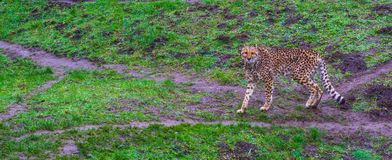 Cheetah walking in a pasture and looking towards the camera, threatened cat specie from Africa. A cheetah walking in a pasture and looking towards the camera royalty free stock image
