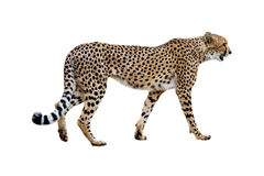 Cheetah Walking Profile Isolated on White Royalty Free Stock Images