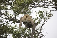 A cheetah walking and resting on a tree branch in Africa royalty free stock photography