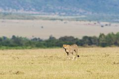 Cheetah walking on the savanna Royalty Free Stock Photos