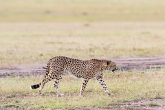 Cheetah walking Stock Photography