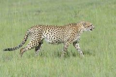 Cheetah walking on savannah Stock Photography