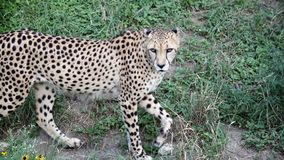 Cheetah walking in the shade. Cheetah stalking through the grass Stock Images