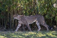 Cheetah walking Stock Photos
