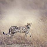 Cheetah Walking Royalty Free Stock Photos
