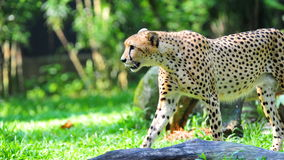 Cheetah walking stealthily Royalty Free Stock Photos