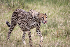 Cheetah Walking, Tongue Out. Heavily pregnant female cheetah licking her lips while following a herd of Thomson's gazelle (out of shot) in the Serengeti Stock Images