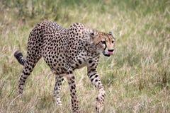 Cheetah Walking, Tongue Out Stock Images