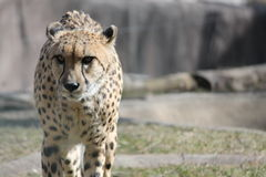 Cheetah walking toward Royalty Free Stock Images
