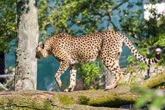 Cheetah walking. Cheetah in a tree, held in captivity Stock Photography