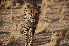 Cheetah walking in wild Royalty Free Stock Photography