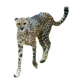 Cheetah. Walks adult Cheetah Acinonyx jubatus against White background royalty free stock photo