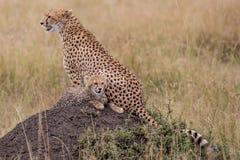 Cheetah walks through long grass in savannah Acinonyx jubatus. Masai mara stock image