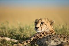 Cheetah walks through long grass in savannah Acinonyx jubatus. Masai mara royalty free stock photography