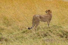 Cheetah walks through long grass in savannah Acinonyx jubatus. Masai mara royalty free stock photos