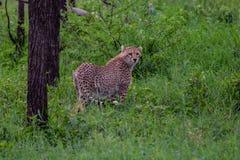 Cheetah walks through long grass in savannah Acinonyx jubatus. Masai mara stock photo
