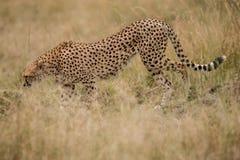 Cheetah walks through long grass in savannah Acinonyx jubatus. Masai mara stock photography