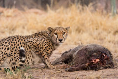 Cheetah on warthog kill Stock Images