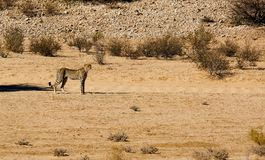 A cheetah spotting potential prey whilst moving in the arid landscape in the Kalahari Desert in the Kgalagadi Transfrontier Park b. This cheetah was fixated on royalty free stock image