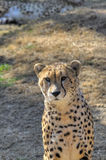 A cheetah watches the camera curiously. Stock Photography