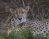 Cheetah. With a watchful gaze zeroed in on the photographer Stock Photo