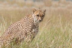 Cheetah watchful in grassland. Cheetah sitting watchful in grassland side view Stock Photos