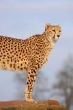 Cheetah Watching. Cheetah standing and watching in zoo Stock Image
