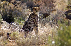 Cheetah Watching. Male Cheetah, looking at the camera. The cheetah is a protected species here in South Africa stock photography