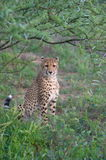 Cheetah. A cheetah watching out for potential prey Stock Image