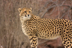 Cheetah watching for prey Royalty Free Stock Photography