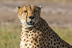 Cheetah watching Royalty Free Stock Photos