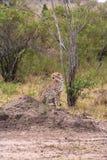 Cheetah watching ungulates. Savanna of Masai Mara, Kenya. Africa royalty free stock photography