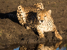 Cheetah watching you Royalty Free Stock Photos