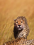 Cheetah on the way to eat, Masai Mara Royalty Free Stock Images