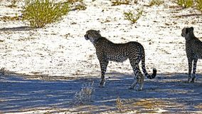 Two cheetahs moving in the arid landscape in the Kalahari Desert in the Kgalagadi Transfrontier Park b royalty free stock image