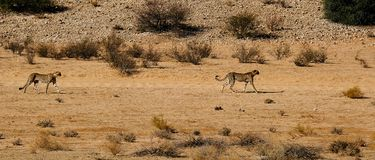 Two cheetahs moving in the arid landscape in the Kalahari Desert in the Kgalagadi Transfrontier Park b. These cheetah were fixated on potential prey while moving stock photography