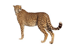 Cheetah with white background Royalty Free Stock Images