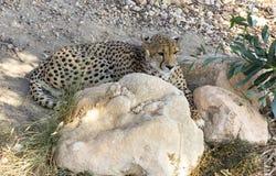 Cheetah Stock Photography