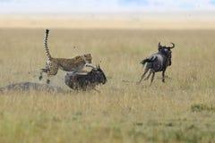 Cheetah. Wild african cheetah, beautiful mammal animal. Africa, Kenya stock photo