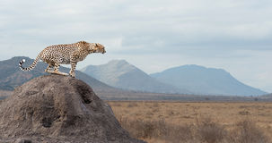 Cheetah. Wild african cheetah, beautiful mammal animal. Africa, Kenya royalty free stock photo