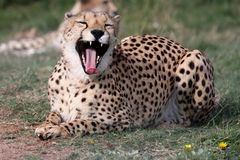 Cheetah Wild Cat Stock Photography