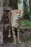 Cheetah Wild Cat Stock Image