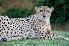 Cheetah Wild Cat Resting Portrait Royalty Free Stock Image