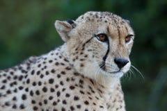Cheetah Wild Cat Resting Portrait Royalty Free Stock Photography