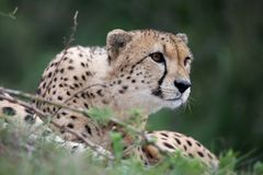Cheetah Wild Cat. With beautiful spotted fur Royalty Free Stock Photo